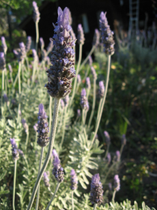 Lavendar on the farm